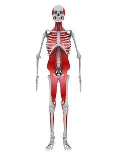 Are Your Weak Neck Muscles Making Your Hamstrings Tight? | Breaking Muscle