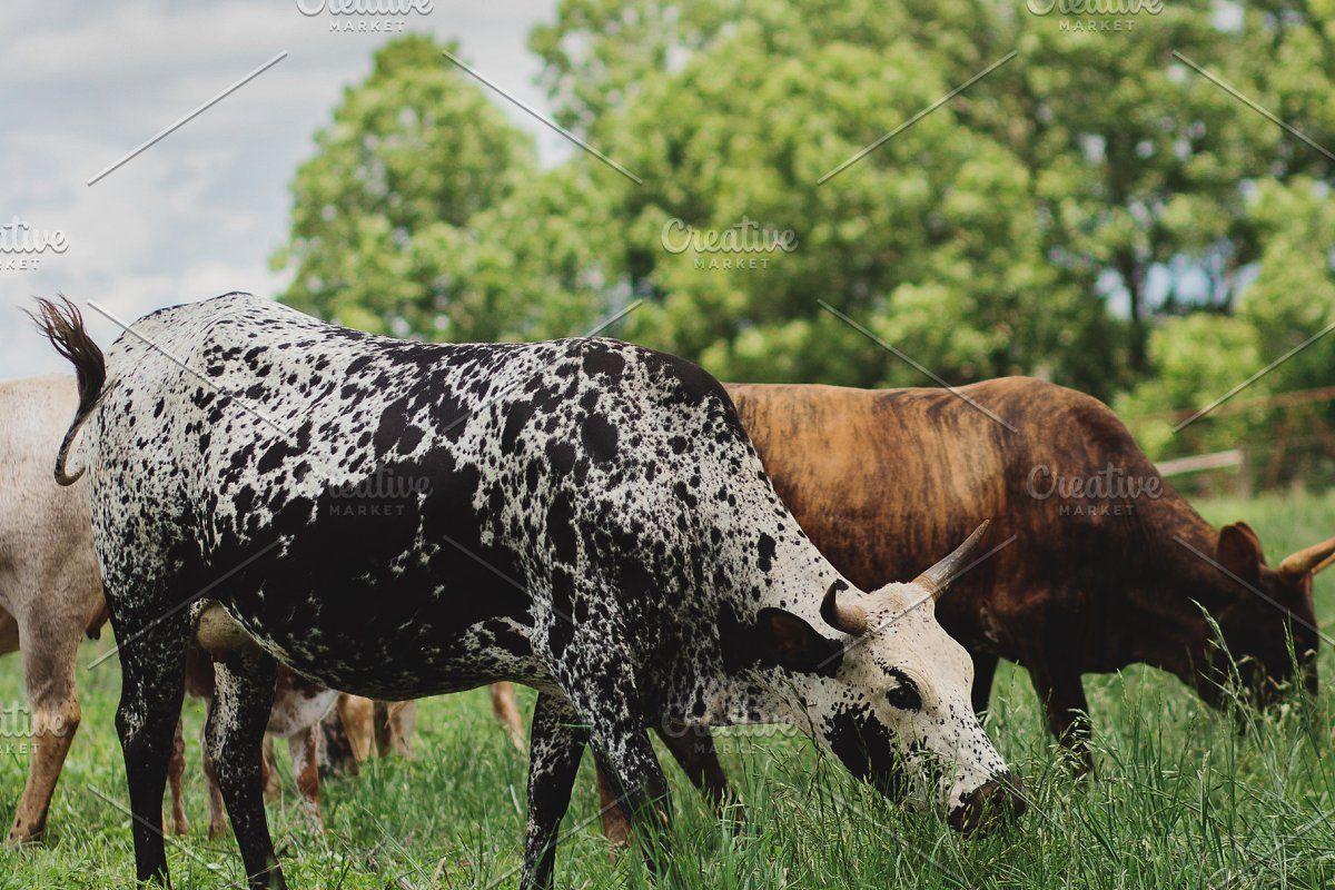 Black and White Nguni Cow Animal Photos Creative