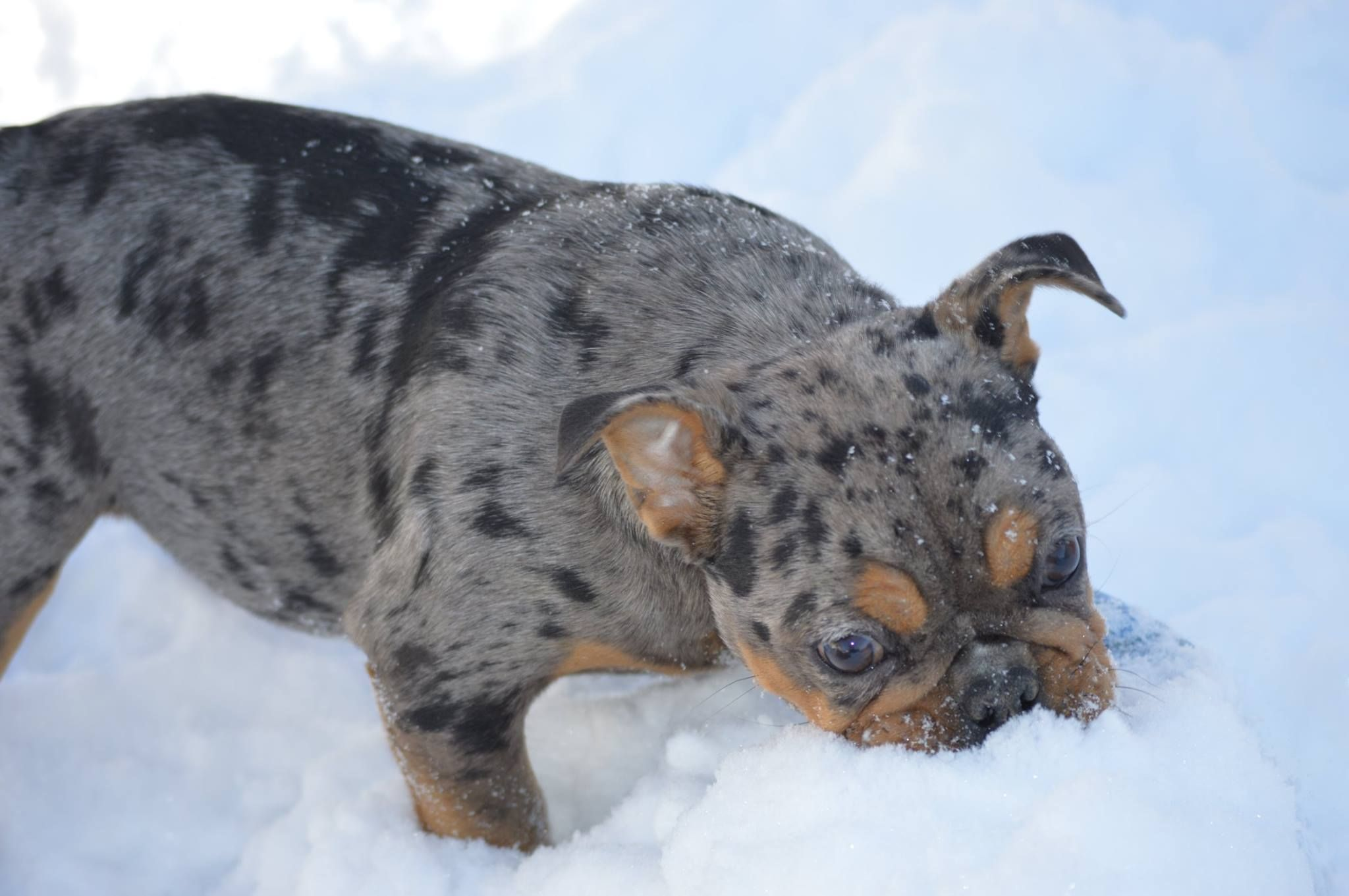 merle tricolor Puppies, French bulldog puppy, Big animals