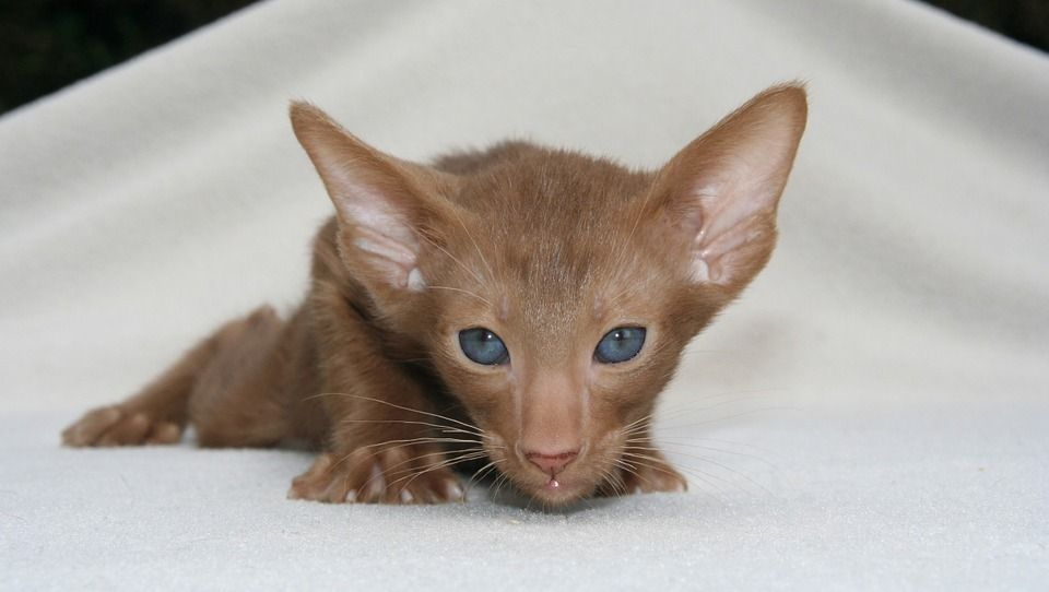 How to get rid of Fleas on kittens Flea Control