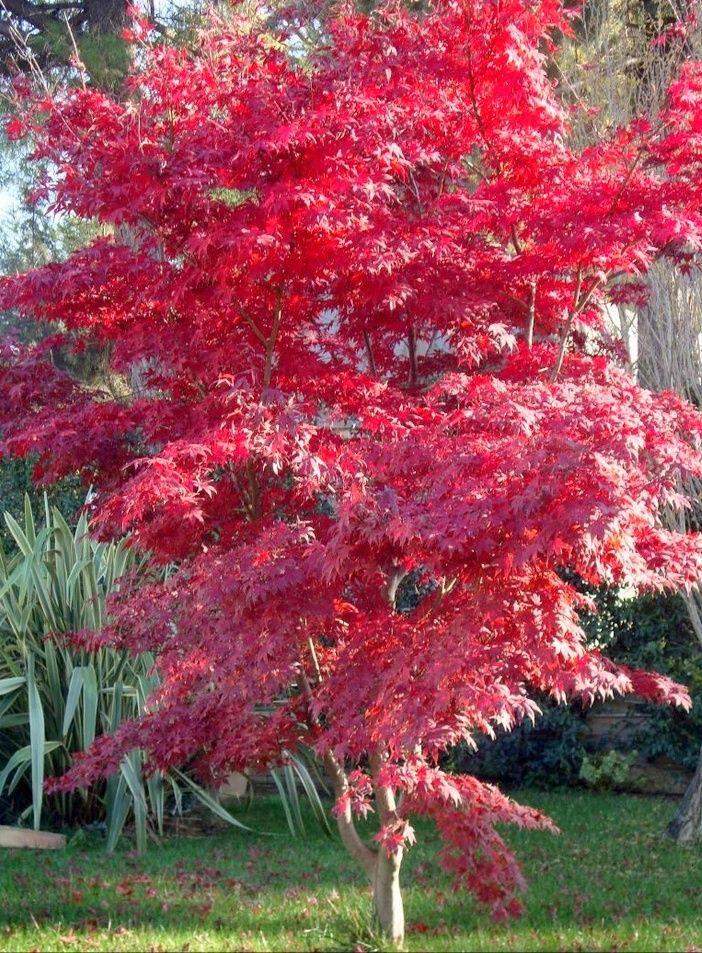 Acer palmatum atropurpureum arce japones jardines for Arboles ornamentales jardin