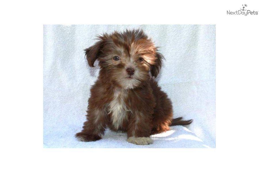 Havanese for sale havanese havanese puppies for sale