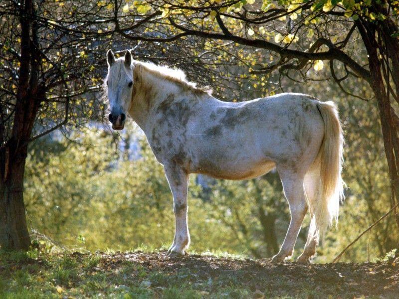 Un Cheval Gris Devant Un Bois Cheval Gris Cheval Equitation