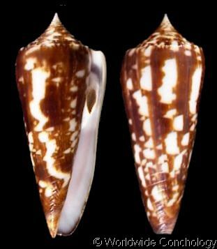 Asprella neptunus neptunus colorvariegatus (f)  Kosuge, S., 1981 Shell size 35 - 80 mm Philippines