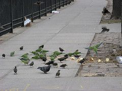 Wild Quaker parrots at Brooklyn college in March 2007