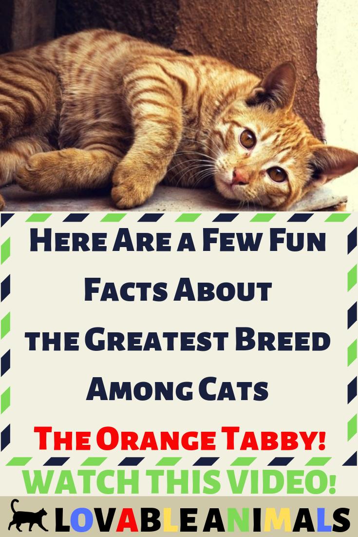 Cats Kittens Cat Catlover Catcare Cute Pets Cattraining Babycat Animal Cutecats Love Like Here Few Fun Facts Greatest Bree Orange Tabby Tabby