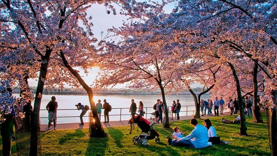 Family Getaways Near Nyc Cherry Blossom Festival Cherry Blossom Cherry Blooms