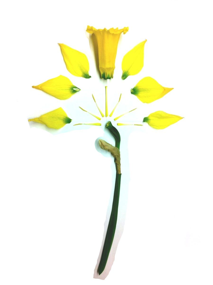 disassembled daffodil flower* pinterest daffodils, flowers and