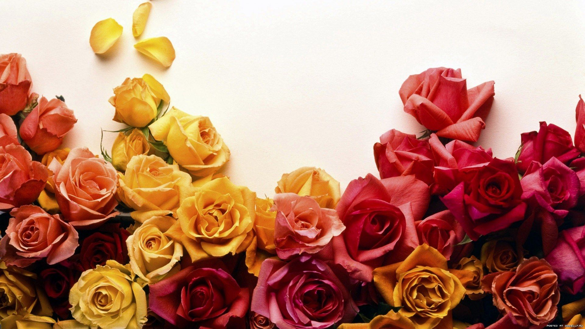 1285147001_colors-of-roses-colors-of-roses-roses-flowers.jpg (1920×1080)