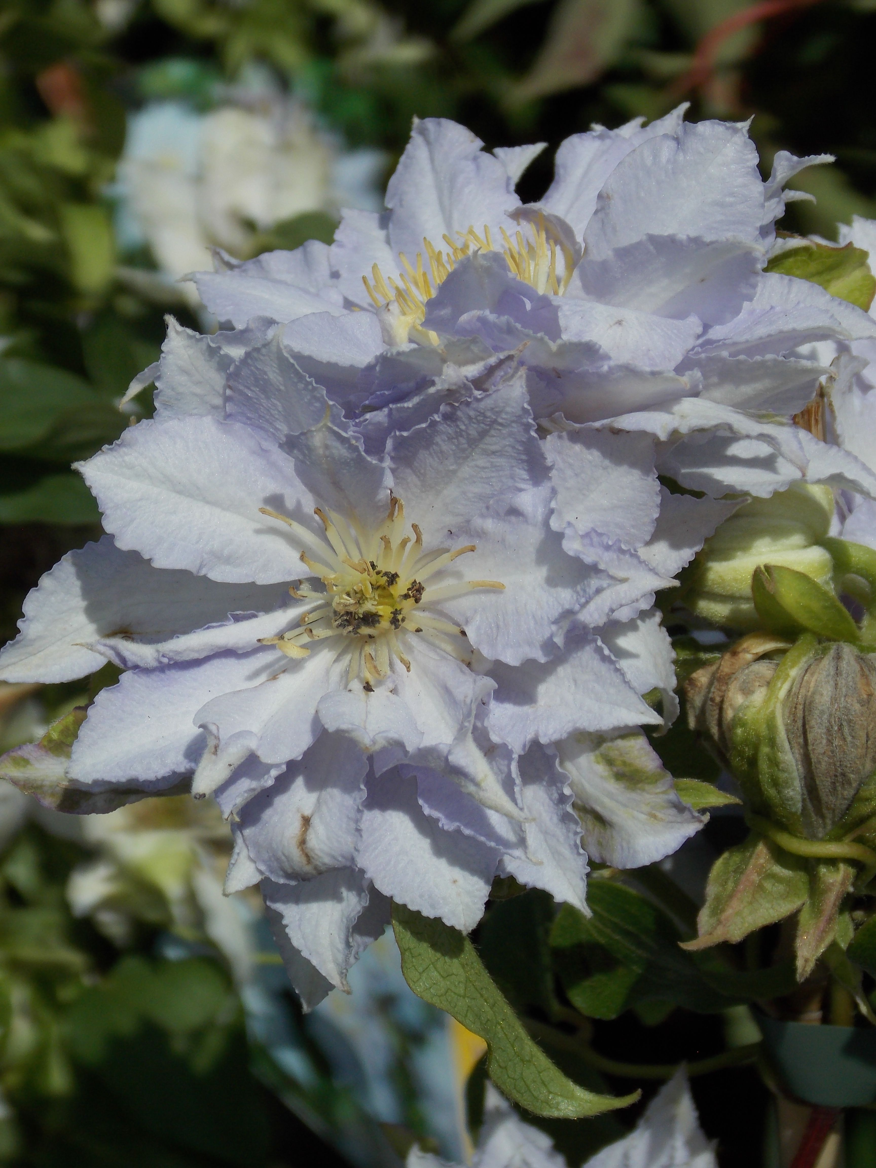 Lovely Hyde Hall Clematis