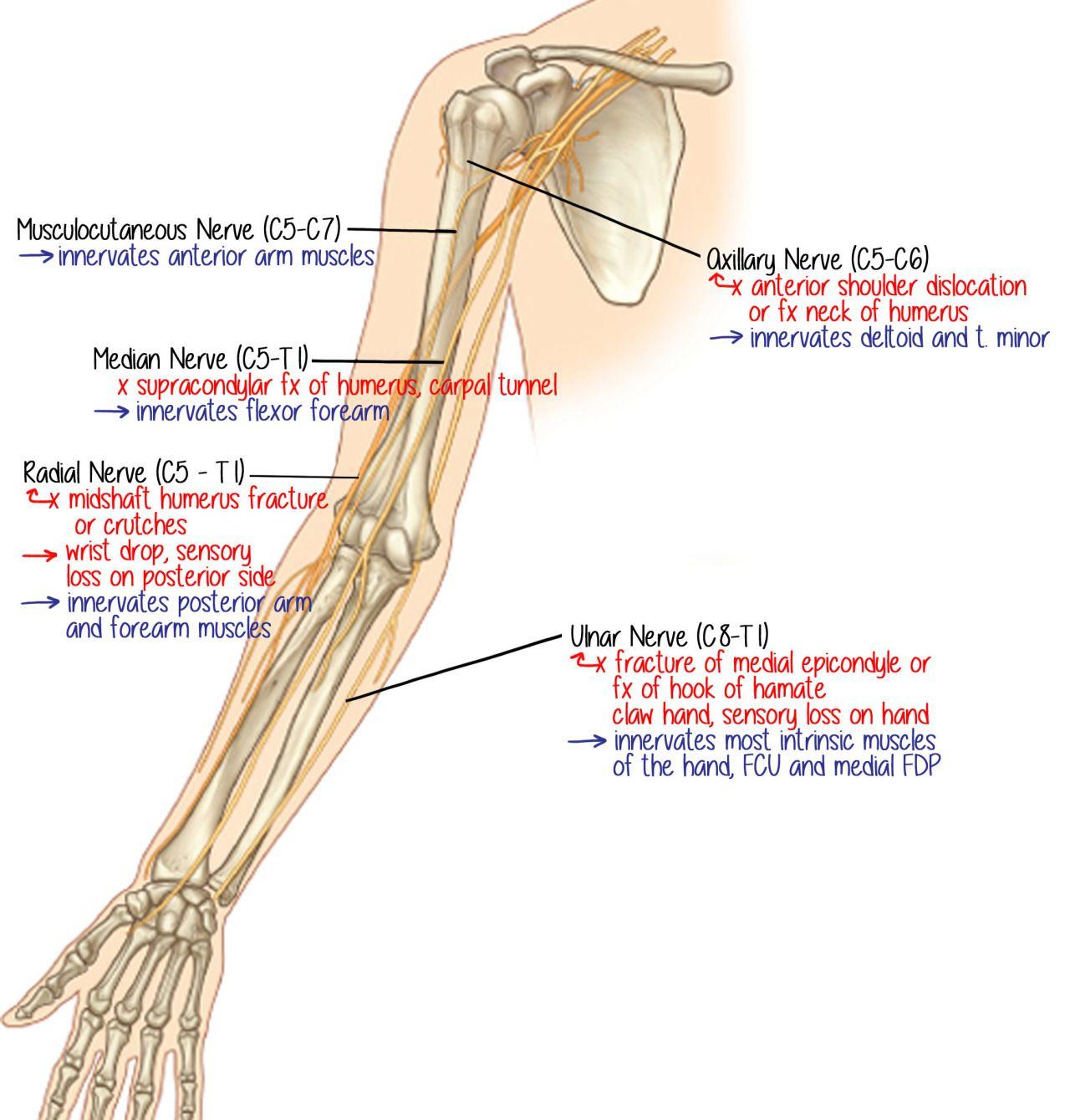 Ungewöhnlich Anatomie Arm Und Unterarmmuskulatur Bilder ...