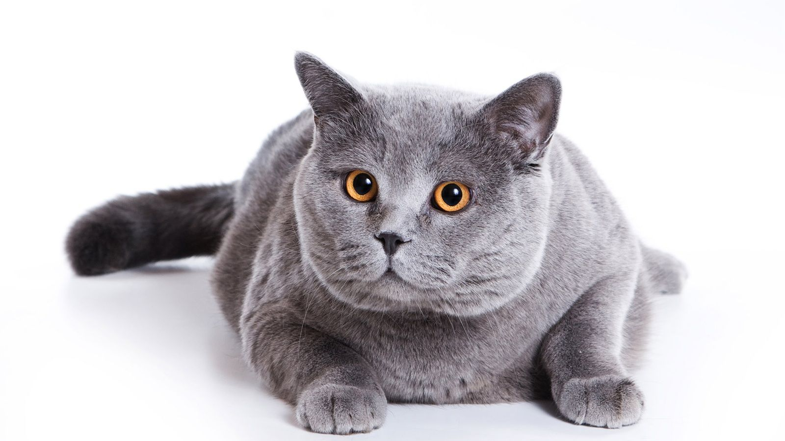 The domain name is for sale Grey cats, Cute