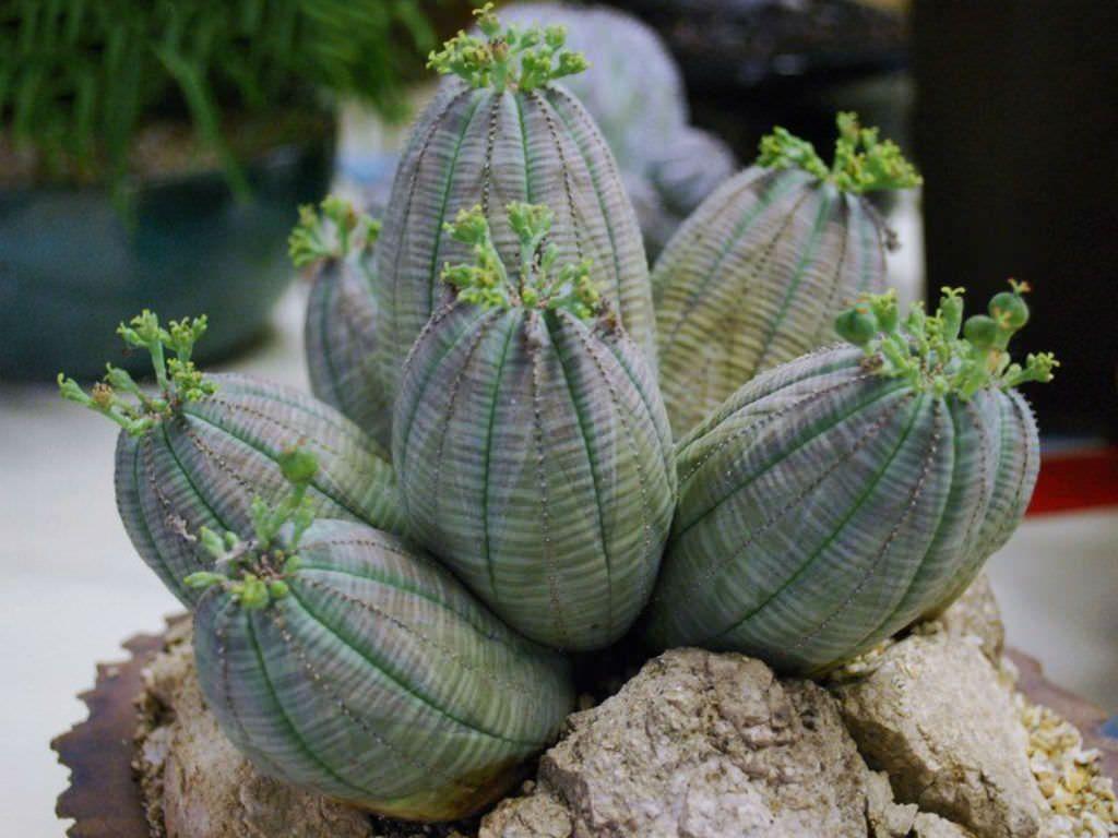 Euphorbia Obesa Subsp Symmetrica
