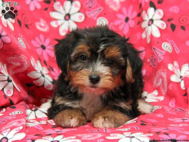 Connor Yorkie Chon Puppy For Sale In Ephrata Pa Greenfield