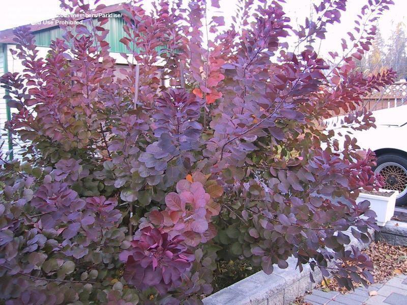 Smoke Tree Cotinus Coggygria Royal Purple How Does