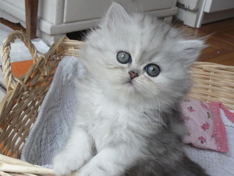 Gatto Persiano Chinchilla Cerca Con Google Miao Gatto Persiano