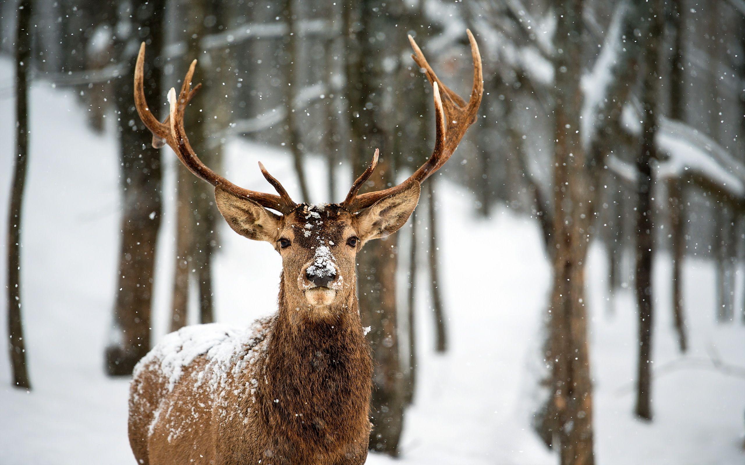 Animals In The Snow Wallpaper Deer Wallpaper Deer Pictures Winter Animals