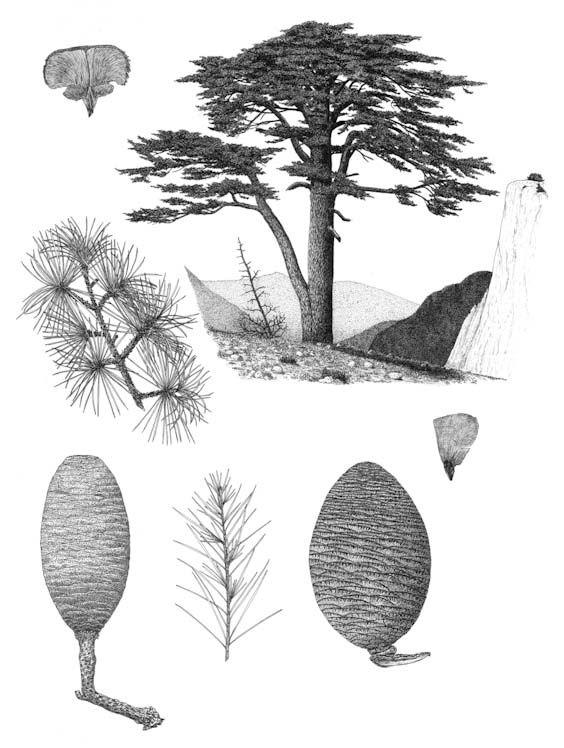 Cedrus libani - botanical art of Aljos Farjon.