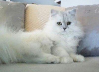 Doll Face Teacup Persians Manitoba Canada Meet Ares Persian Cat Doll Face Baby Cats Persian Cat