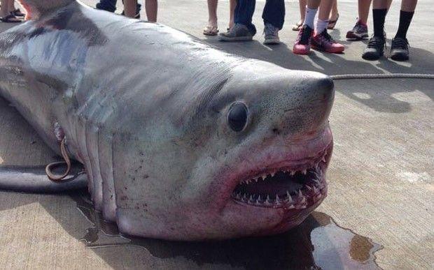 Mike Evensen e seu filho de nove anos fisgaram um tubarão-sardo de 219 quilos (Foto: Reprodução/Facebook/Sandi Maciejewski Evensen)