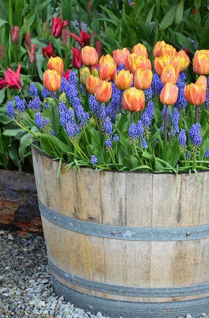 Orange tulip planter is part of Wine barrel garden, Barrel garden planters, Spring garden decor, Tulips garden, Garden decor, Garden pots - Orange tulips and bluebells in wooden planter