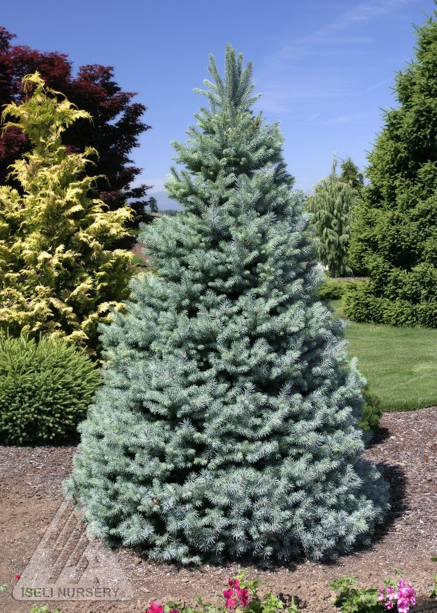 Picea pungens 39 sester dwarf 39 dwarf blue spruce blue for Small slow growing evergreen trees