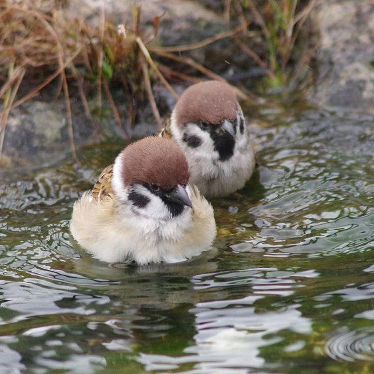 Instagram 上的 中野さとる(Onakan.s):「 水鳥じゃないよ〜ス 美しい鳥, スズメ, 可愛すぎる動物