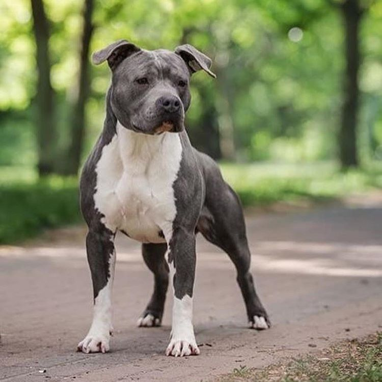 American Staffordshire Terrier Dog Breed Information Popular Pictures Staffordshire Terrier Puppy Dog Breeds American Pitbull Terrier
