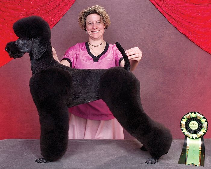 Town And Country Poodle With Moustache Poodle Hair Poodle