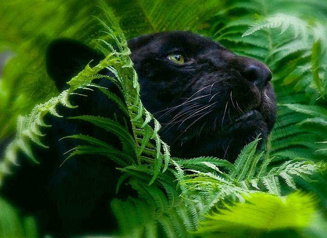 Black panther by haykaz hakobyan a walk black - Amazon rainforest animals wallpaper ...