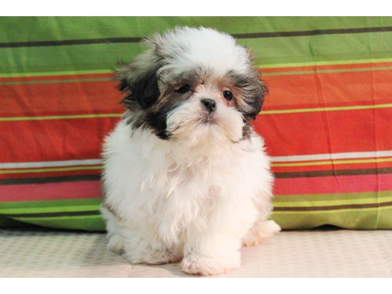 Shih tzu mix puppies iowa