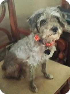 Adopt Curly Adopted On Animal Help Poodle Mix Dogs