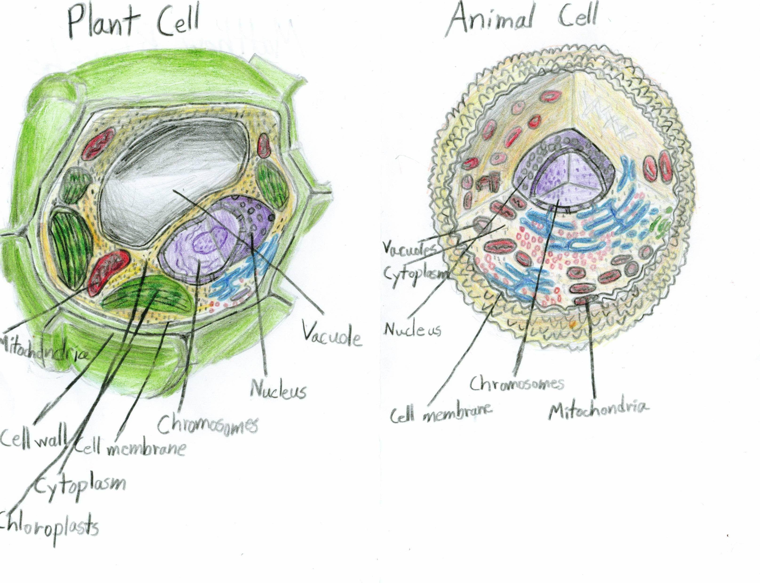 Plant Cell Diagram 7th Grade Unique the Portfolio 2009 ...