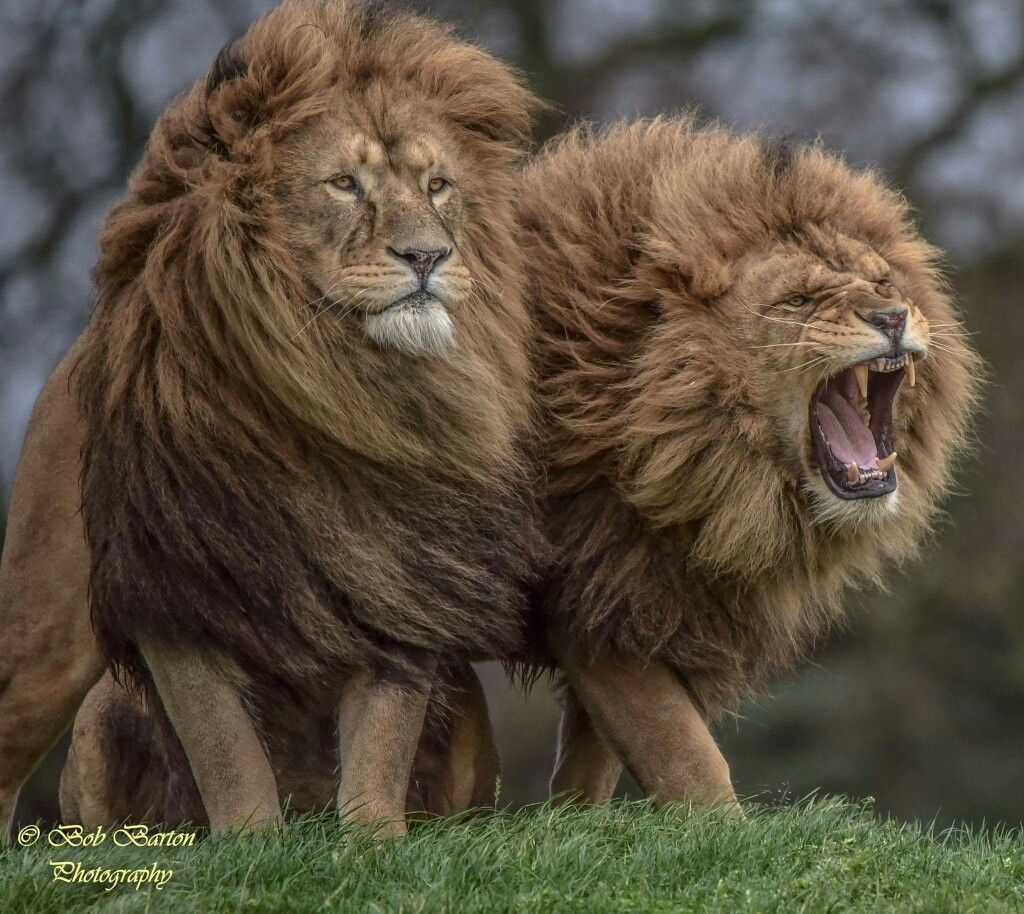 Lion On The Right Keep Away From My Brother And I Photo By - Photographer captures angry lion before attack