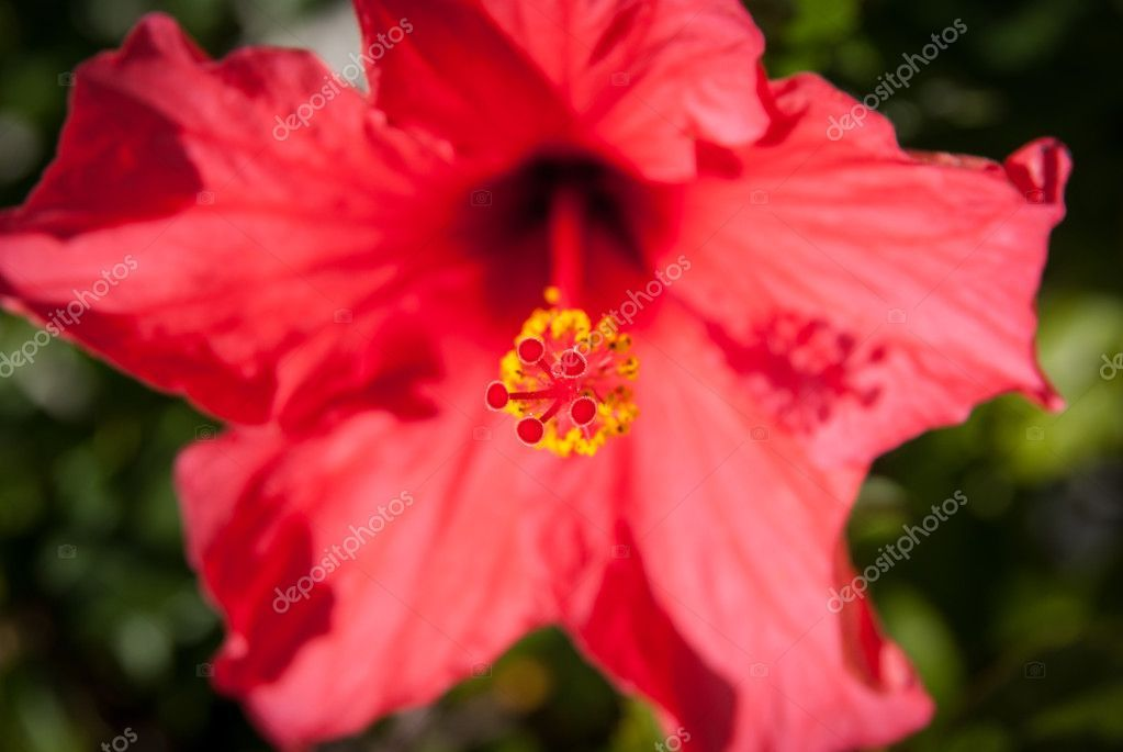 Red Hibiscus Flower Stock Photo Sponsored Hibiscus Red Flower Photo Ad In 2020 With Images Hibiscus Flowers Hibiscus Flowers