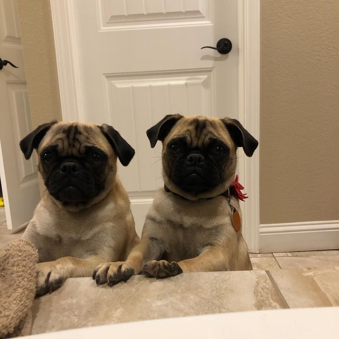Those Faces They Are Getting So Big Pugs Pugpuppies