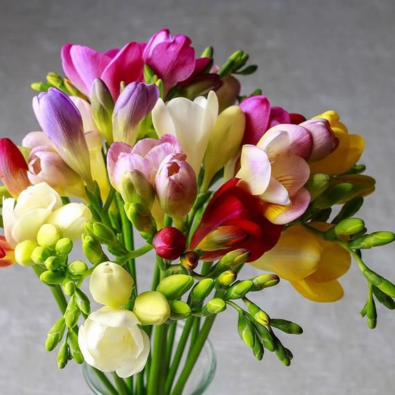 Freesia Single Kaleidoscope Mix Freesia Flowers Beautiful Flower Arrangements Backyard Flowers