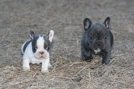 Blue French Bulldog Blue French Bulldog Puppies For Sale In