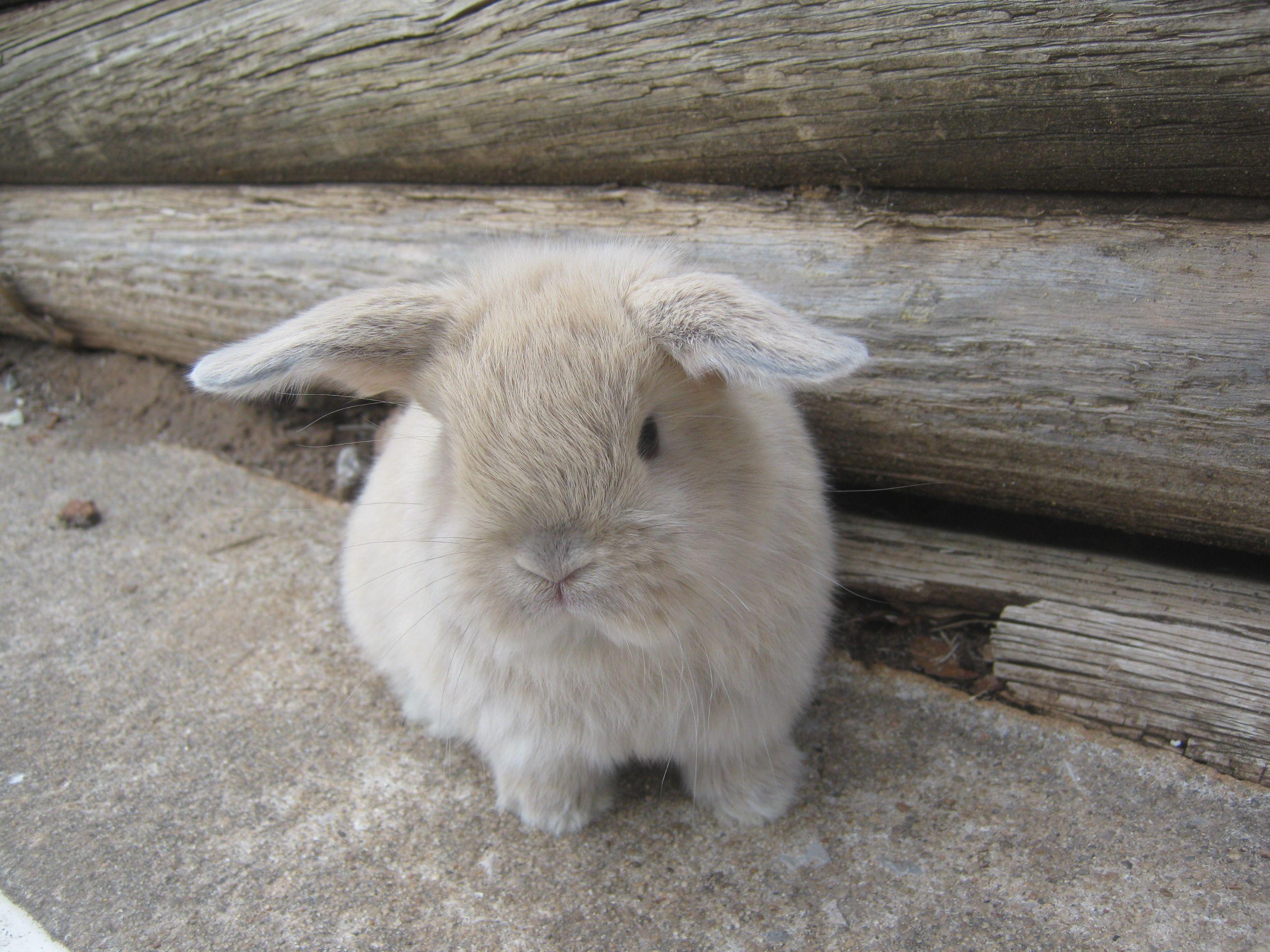 Cute Bunny Of The Day Is This Baby Holland Lop
