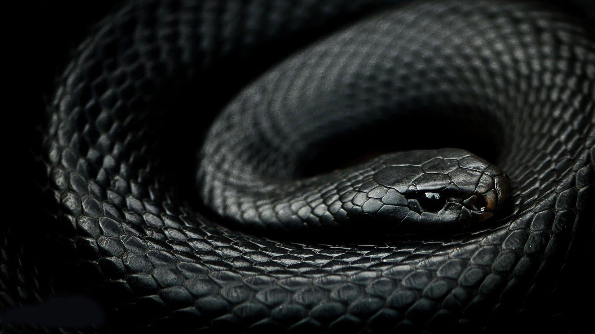 Red Bellied Black Snake Snake Wallpaper Black Mamba Snake Red And Black Snake