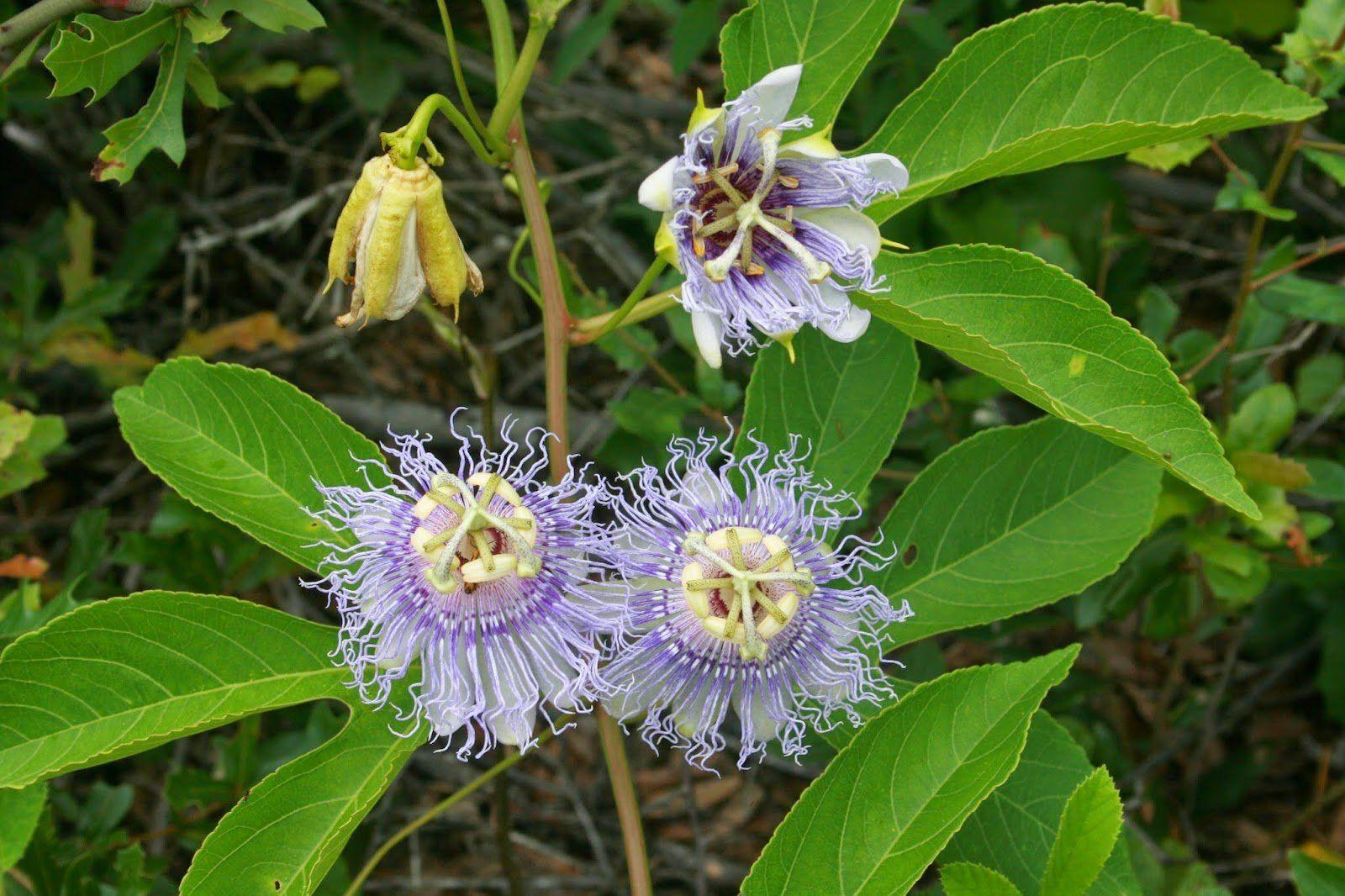 Passiflora incarnata seeds aka purple passion flower