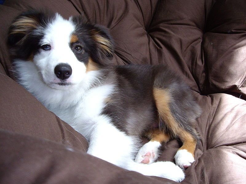 Miniature Australian Shepherd Tri Color Love The Patch Of Black On