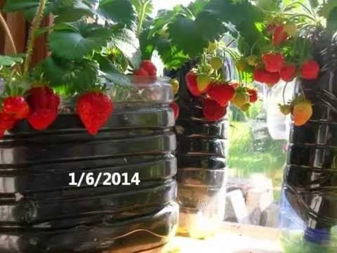 Fraisiers Comment Bien Les Planter Et Les Fertiliser Youtube
