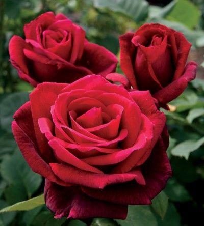 La Rosa Mr Lincoln es un arbusto obtenido a través de del cruce de dos rosas híbridas: la rosa de té Chrysler Imperial y la rosa híbrida remontante denominada Charles Mallerin. Su creación se debe …