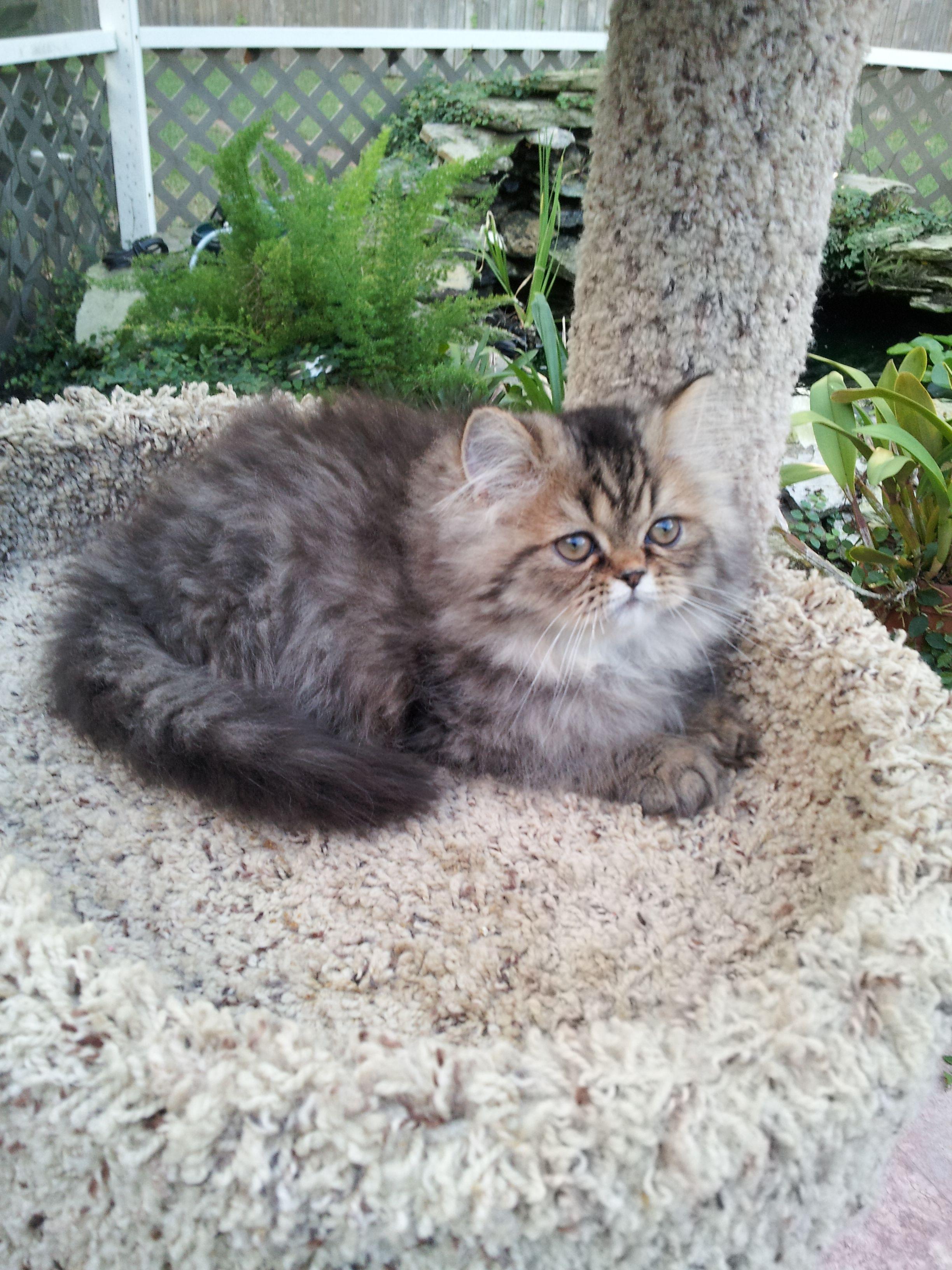 Brown Tabby Persian Kittens Pretty Cats Persian Kittens Kittens Cutest