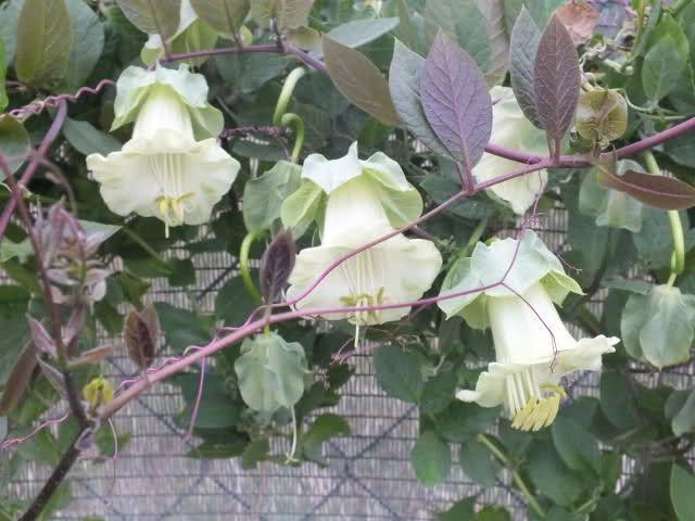Topic Kobea Pnaca Sepota Pnaca Cobaea Scandens 1 4 Plants Vines