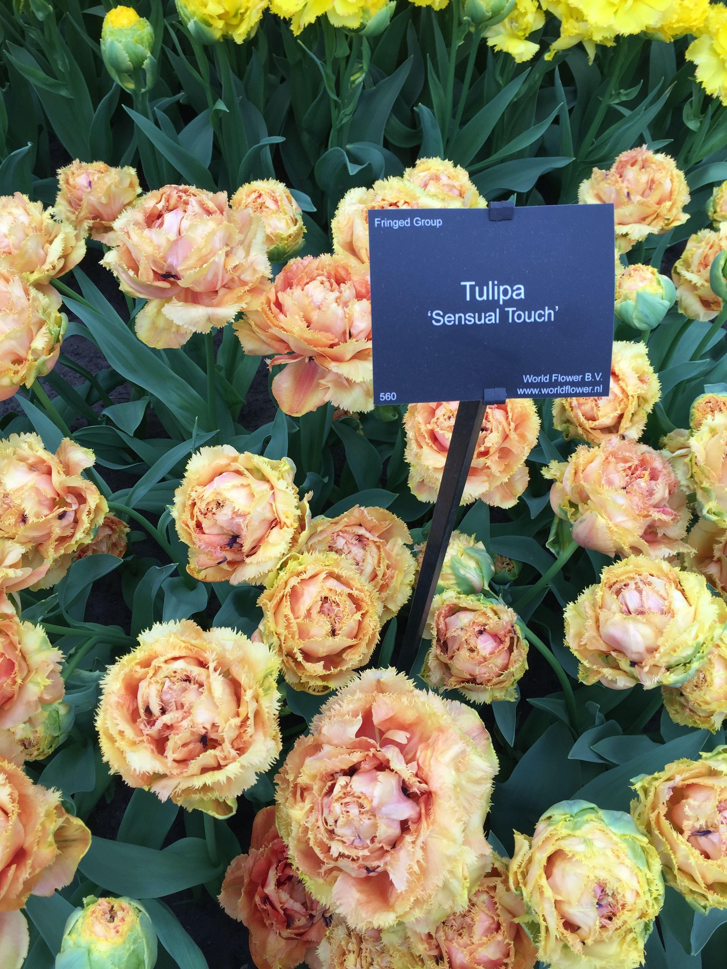12 Things You Should Know Before You Visit Keukenhof Tulip Garden Tulips Garden Indoor Gardening Kit Garden Services