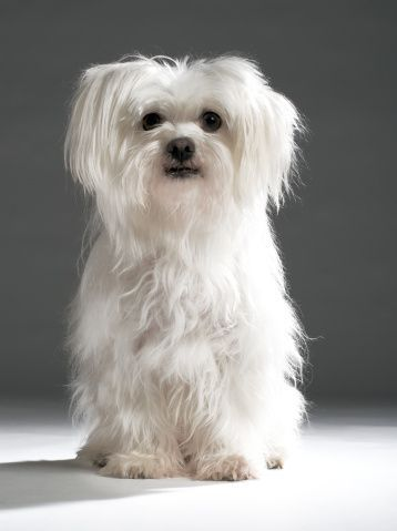 How to groom your Maltese Dog at home video will show you