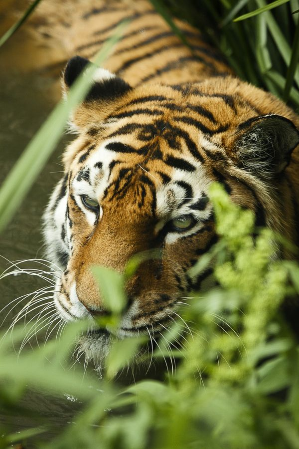 Tiger No5 Tiger Wilde Tiere Raubkatzen