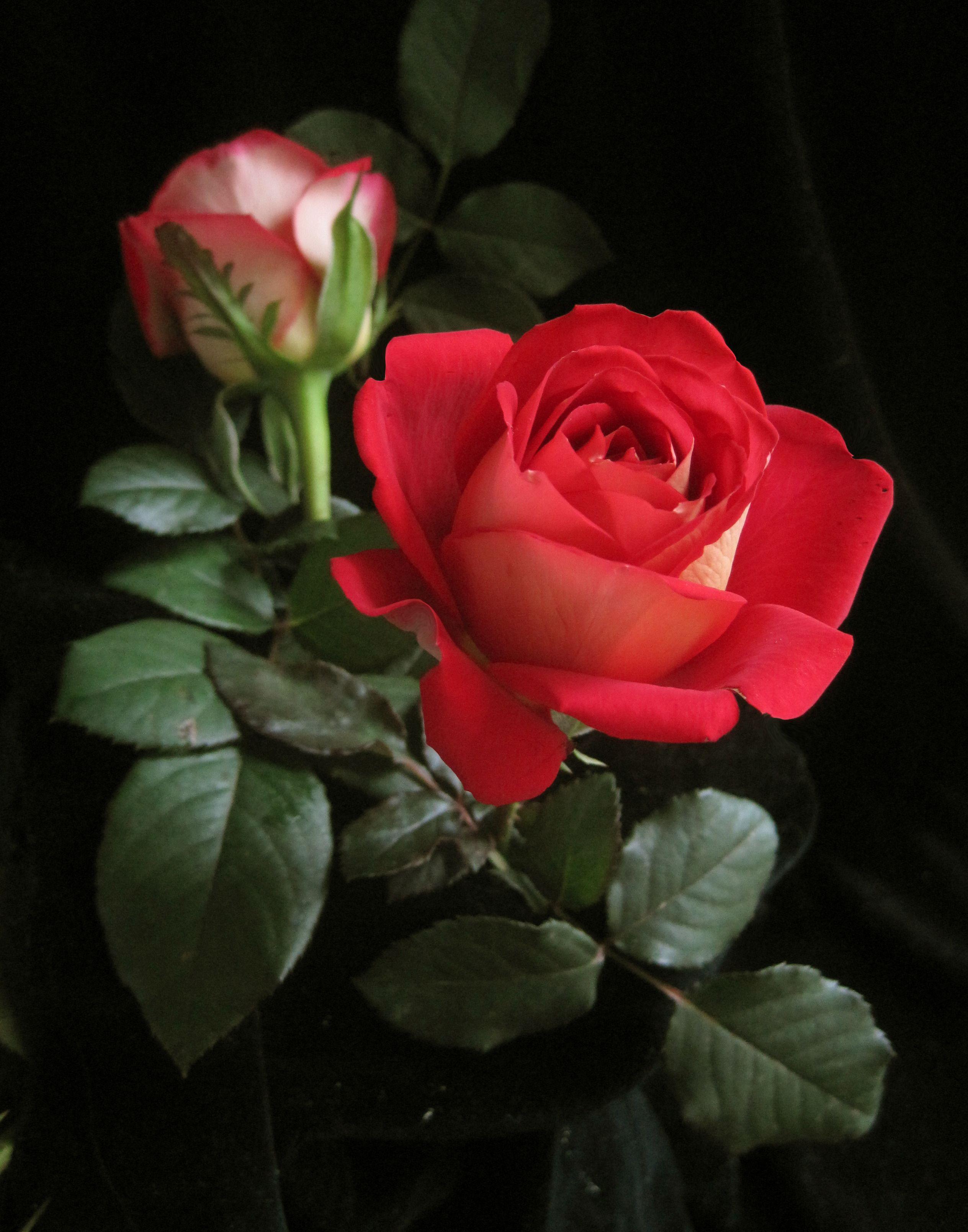 Rose Roses Pinterest Flowers Beautiful Red